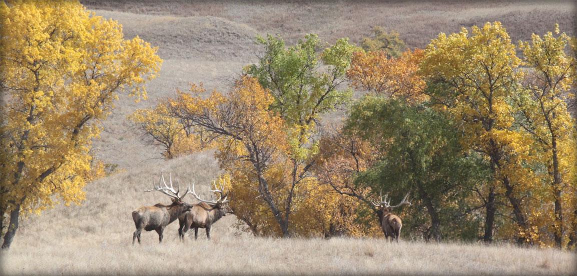 Beautiful Elk at Timber Lake Elk Ranch